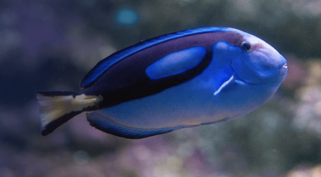 Blue Tang (SEA LIFE Melbourne)