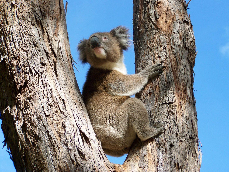 Wild Koalas